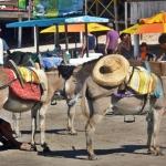 Jegues em Canoa Quebrada